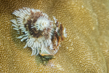 Xmas tree worm in hard coral in Raja Ampat Papua, Indonesia