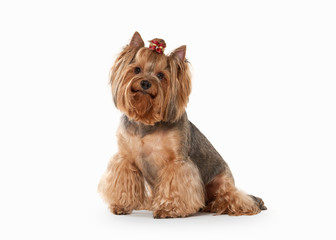 yorkie puppy on white gradient background