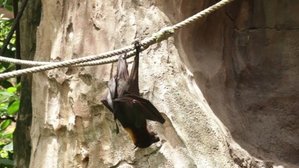 Huge Bat Giant Golden-Crowned Flying Fox