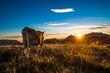 mucca al tramonto