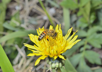 Bee on dandelion 3