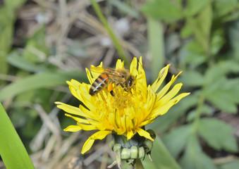 Bee on dandelion 3