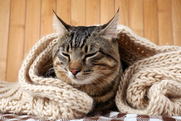 Grey cat wrapped in knitted scarf on wooden wall background