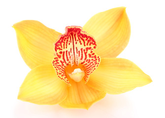 Yellow tropical orchid flower isolated on white