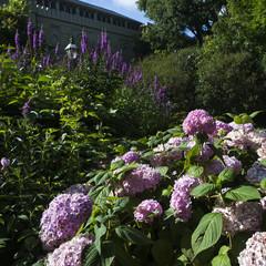 many fresh blossom hydrangea flowers
