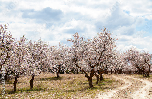 Poster Almond Tree Orchard