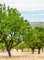 Almond Field