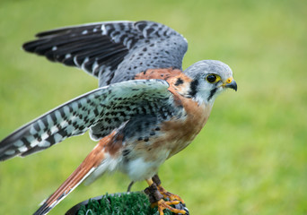 Close up of an American Kestrel