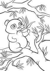 panda seats on the tree and eats leaves