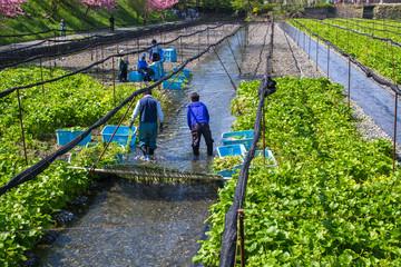 Wasabi Farm,Nagano,Japan.