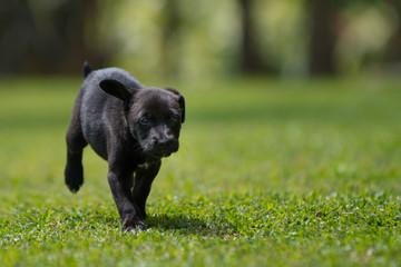 black little puppy running