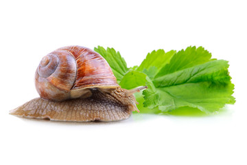 Snail on green leaf