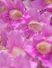 pink tekoma (pandorea) background