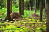 Ameisenhaufen im Kieferwald