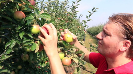 Farmer picking apples in a orchard