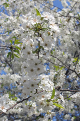 a lot of flowers of blossoming cherry