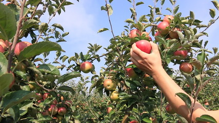 Farmer picks apples and puts in a cart