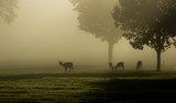 White-tailed deer on foggy morning