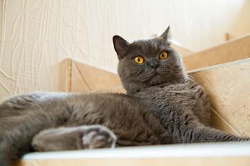 british cat with big orange eyes