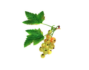 Sprig of immature red currant isolated
