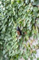 Beetle-1 on ivy
