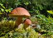 Mushrooms in autumn forest - 70256379