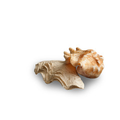 Still life composition with two seashells isolated on white