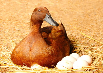 Duck incubator her eggs on the straw nest.