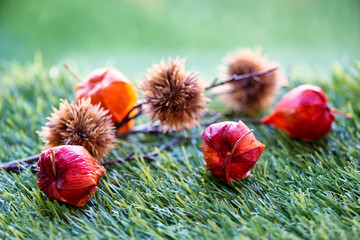 Branch of Chinese Lantern Seed Pods Lying on Grass