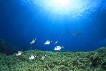 Seabream fish on underwater reef
