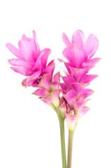 Siam tulip or Curcuma flower