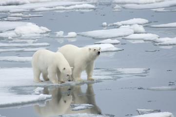 Female Polar Bear with Yearling Cub