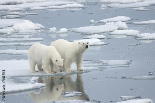 Fototapeten Eisbar Female Polar Bear with Yearling Cub