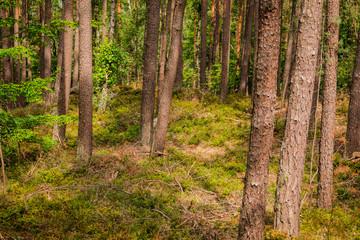 Wald mit Nadelbäumen und Atmosphäre