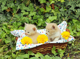 small kittens in wicker basket