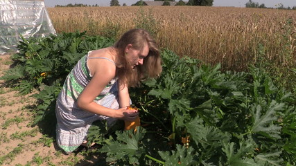 country woman pick ripe yellow zucchini in home grown garden