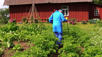 Peasant farmer man spray potato plants with pesticide