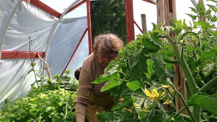 senior woman weed tomato seedling in greenhouse. Summer work.