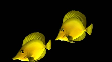 Three Yellow Tang fish isolated on black background