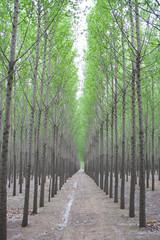 Rows of poplars