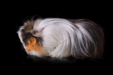 Clouse up of guinea pig