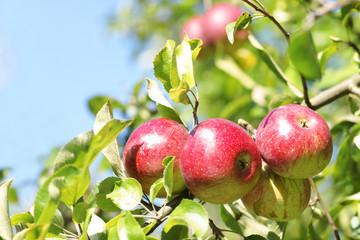 Apfelbaum mit leuchtend roten Äpfeln