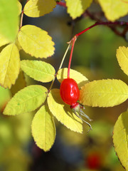 Red berry of a dogrose