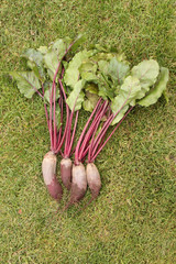 Washed beets with tops from a garden-bed on the green grass