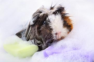 Guinea pig in bath