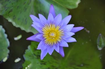 Purple lotus in Thailand
