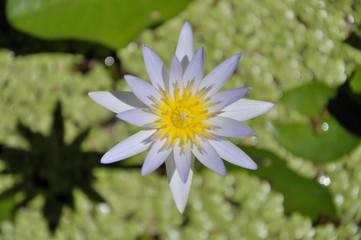 One white lotus.