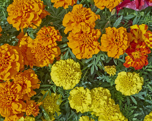 marigold flowers closeup in the garden