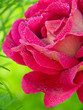 canvas print picture - Pink roses  isolated on green.