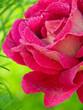 Obrazy na płótnie, fototapety, zdjęcia, fotoobrazy drukowane : Pink roses  isolated on green.